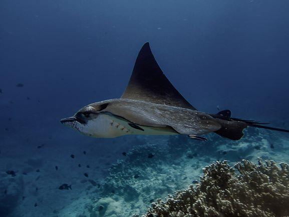 Rays in Mauritius, Adlerrochen Egle Ray SeaUrchin Diving Center