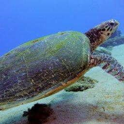 sea turtle mauritus, meeresschildkröte, indischer ozean,