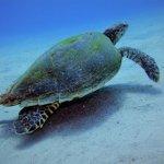 schildkröte, karettschildkröte, karett schildkröte, sea turtle,